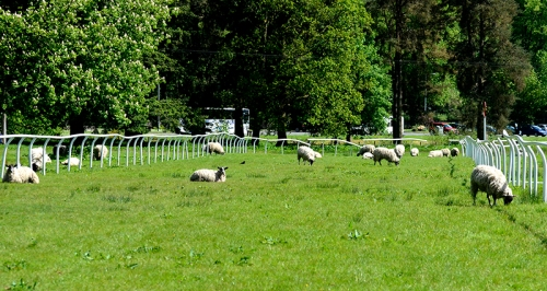 sheep on race track