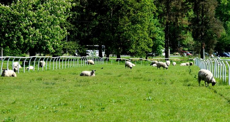 sheep on race track