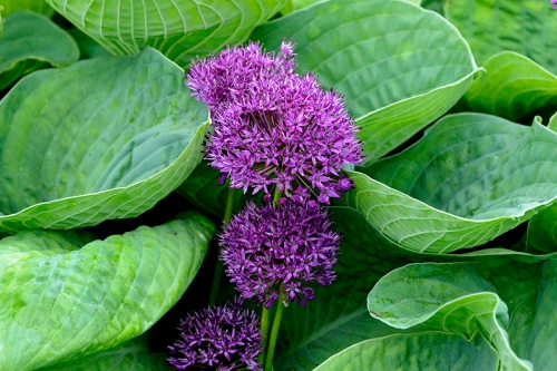 Allium and hosta