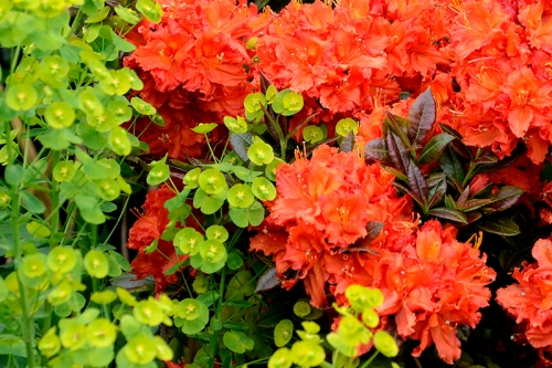 Euphorbia and azalea