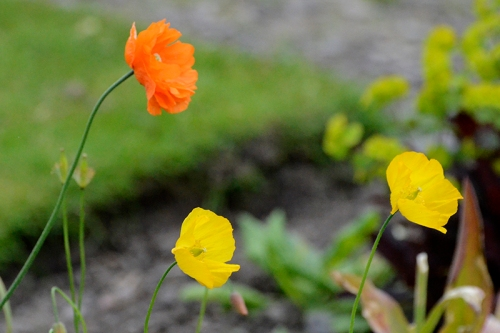 Icelandic and Welsh poppies