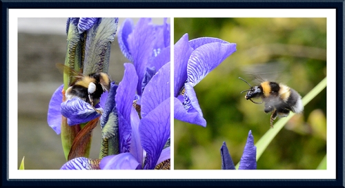 iris and bees