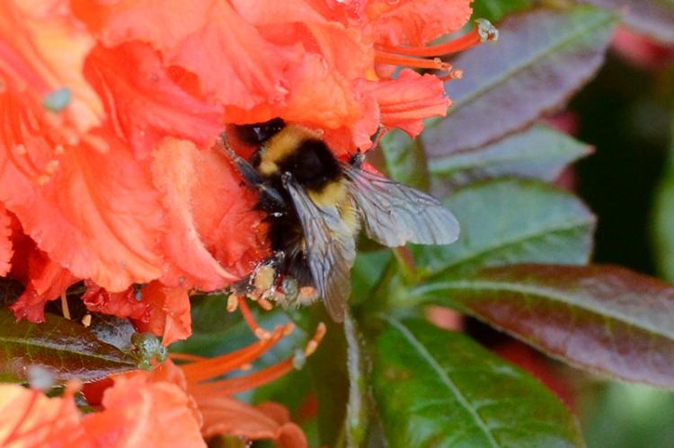azalea and bees