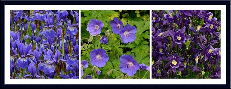 Iris, Geranium and Aquilegia