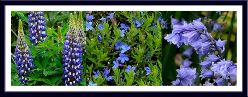 Lupin, lithodora and bluebell
