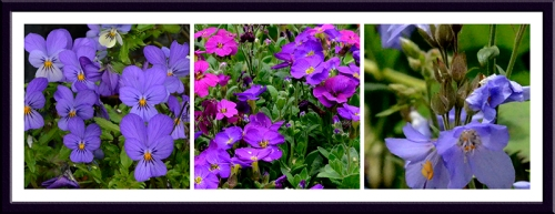 Viola, Aubretia and Polemonium