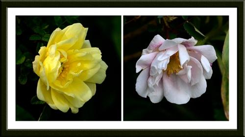 Burnet roses or Scotch briar