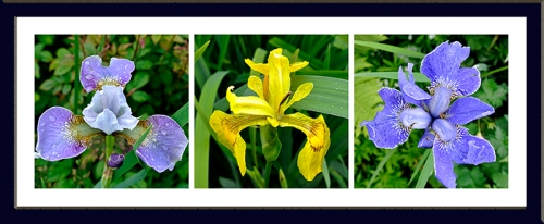 irises of many shades