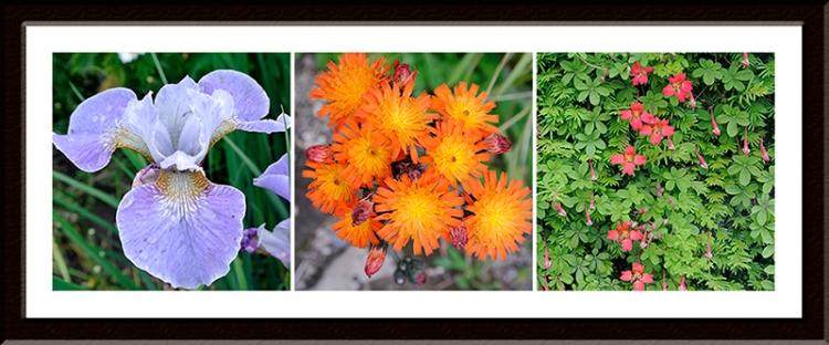 iris, hawkweed and nasturtium