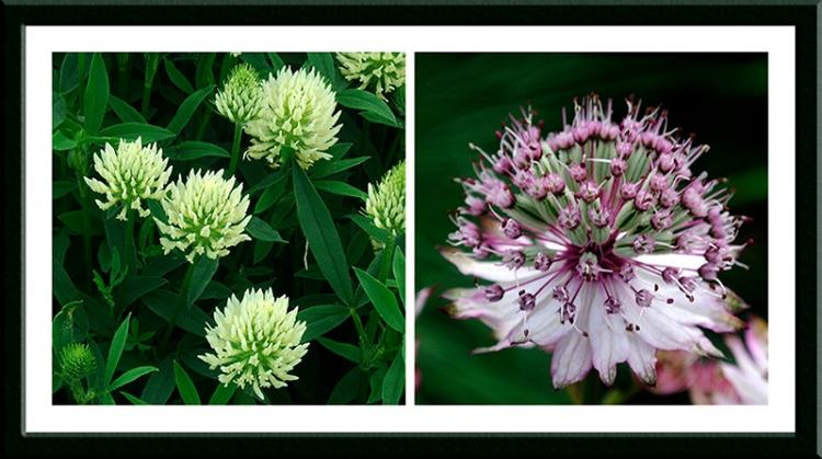 Astrantia and Trifolium