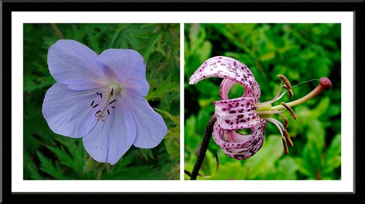 geranium and lily