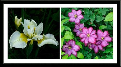 Siberian Iris and Clematis Ernest Markham