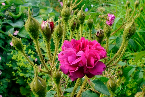 moss rose William Lobb