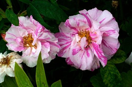 gaudy rose
