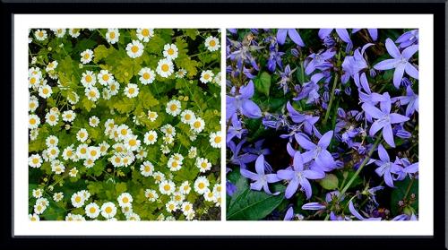 daisies and campanulas
