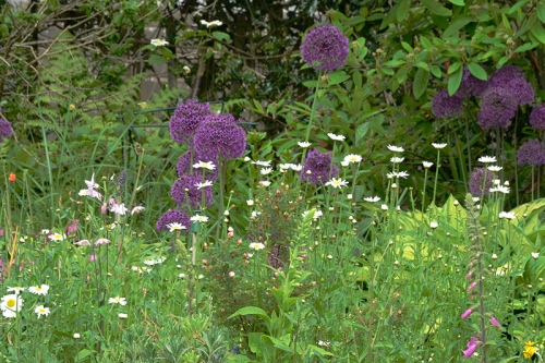 daisies and alliums