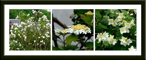 Lilac, viburnum and Philadelphus