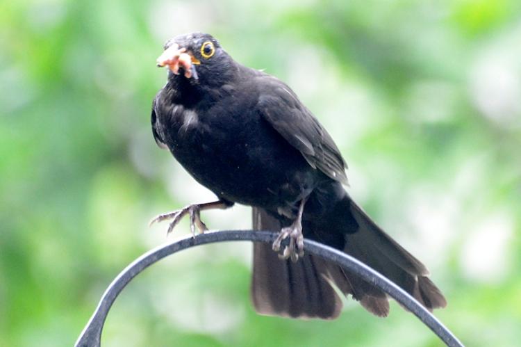 hattered blackbird