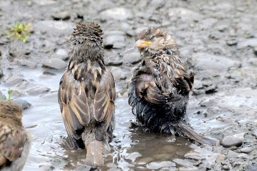 sparrows bathing in puddle