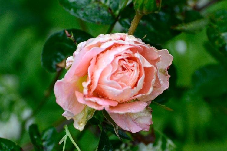 The Wren rose