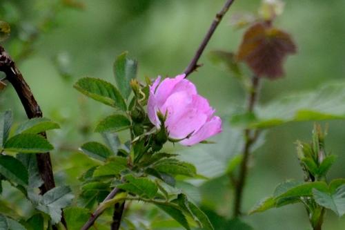 Byreburn rose