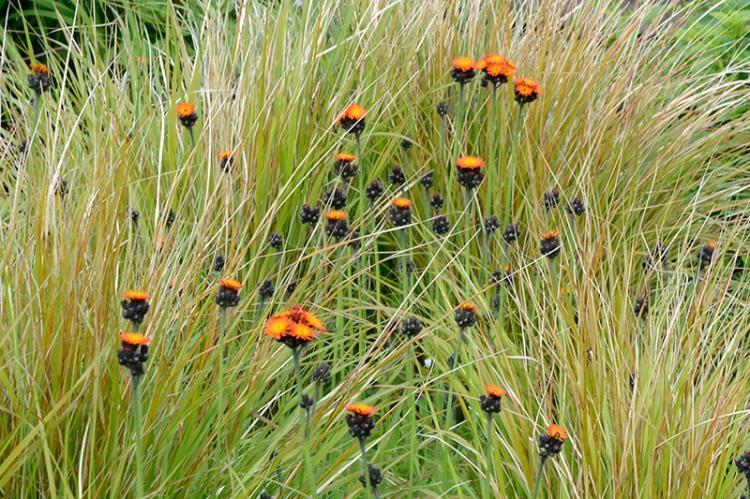 hawkweed and grass