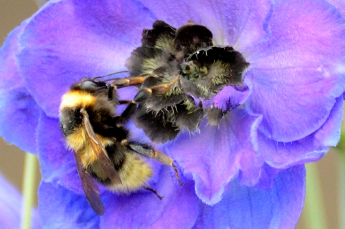 bee and delphinium