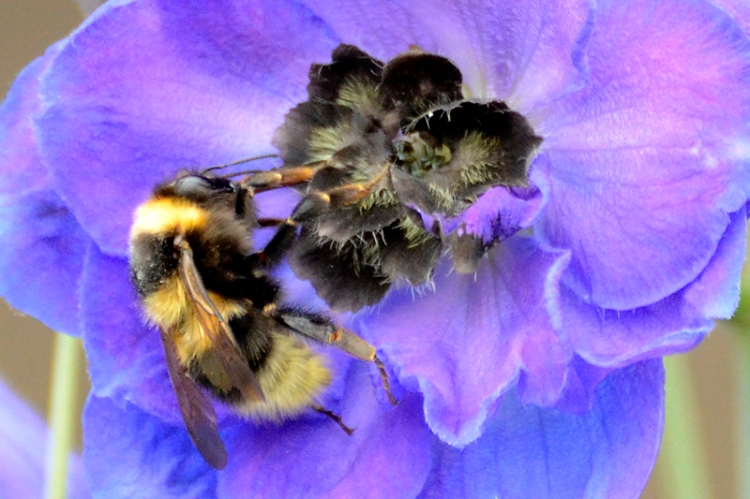 bee and delphinium