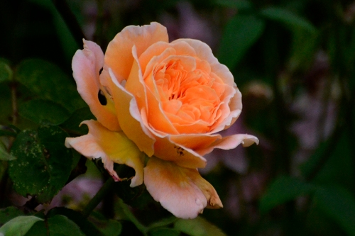 Rosa Princess Margaretha