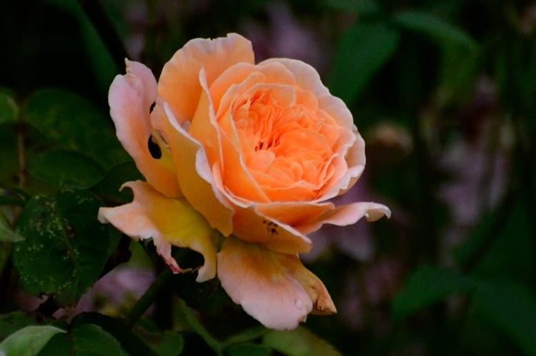 Rosa Princess Margaretha