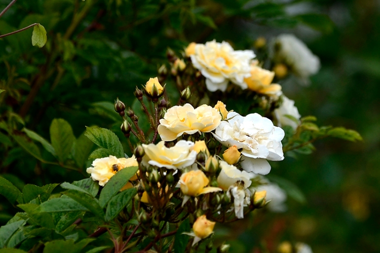 goldfinch rose