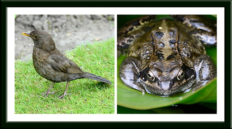 frog and blackbird
