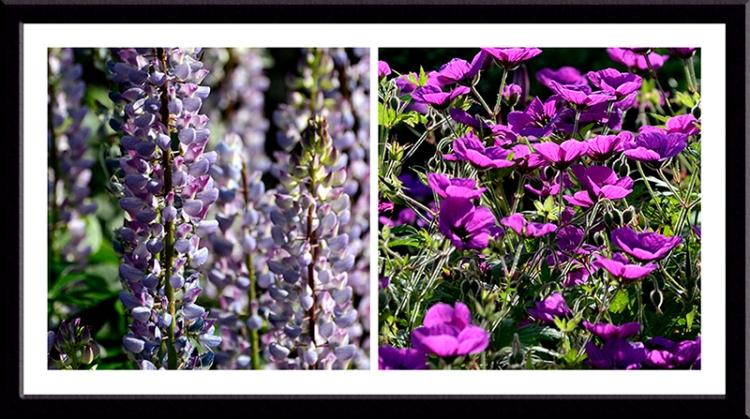 lupin and geranium