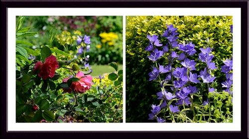 rose and campanula
