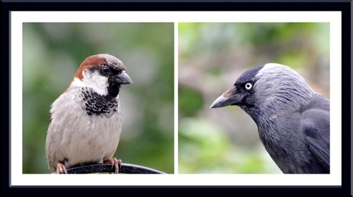 sparrow and jackdaw