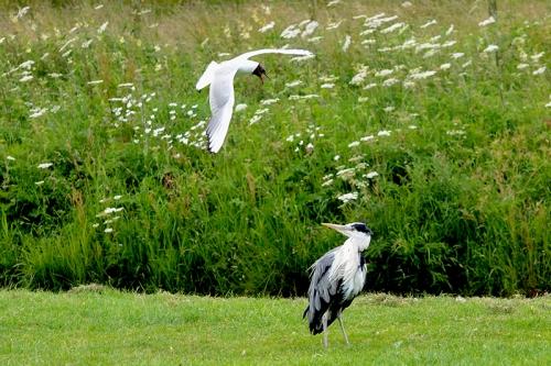 gulls and heron