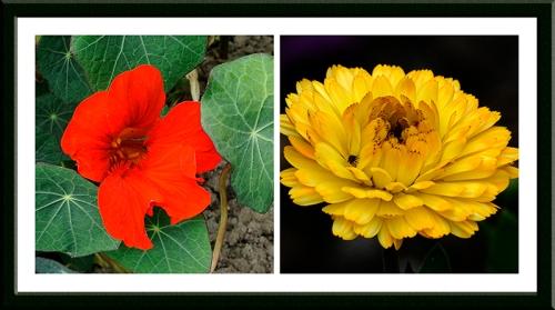 nasturtium and marigold