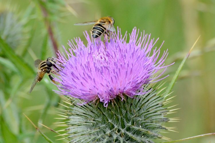 insects on knapweed