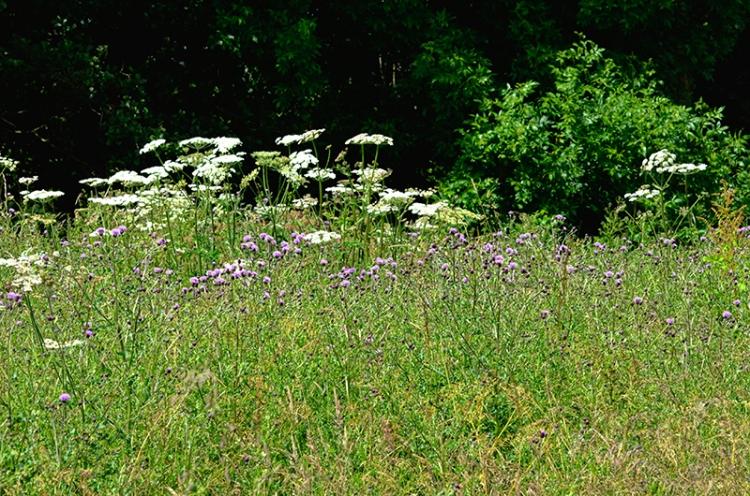 Longtown meadow