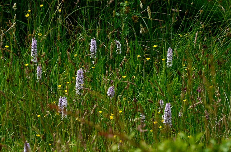 orchids at Longtown