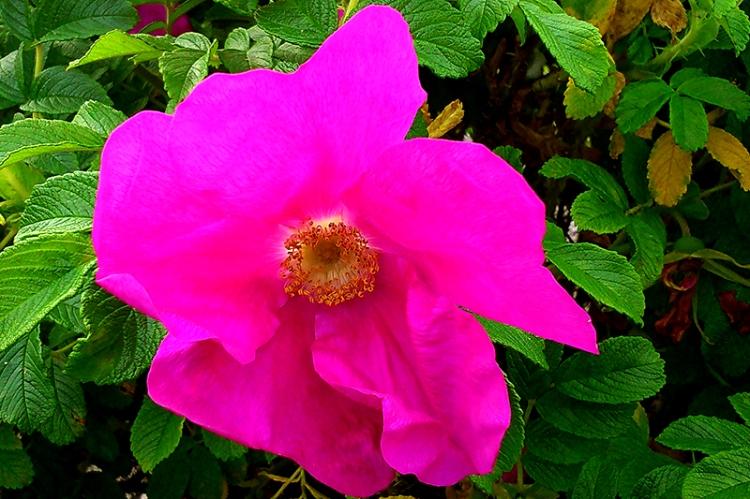 Abingdon rose