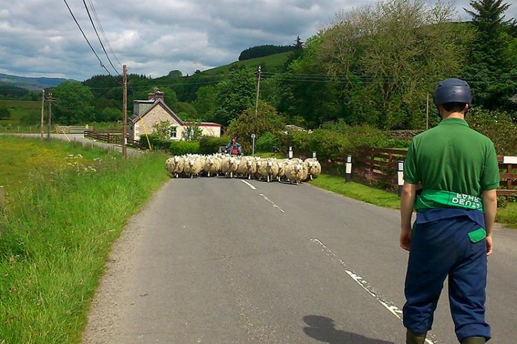 Sheep at Eskdalemuir