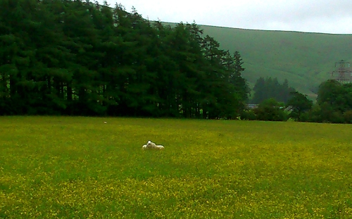 sheep and buttercups