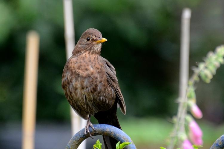 one legged blackbird
