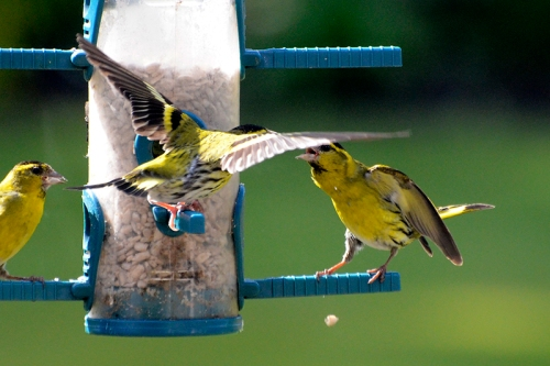 siskins behaving badly