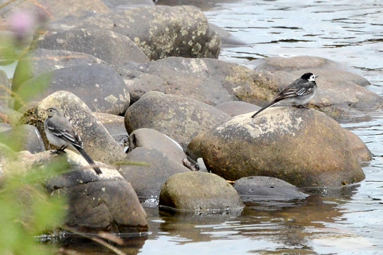 two wagtails