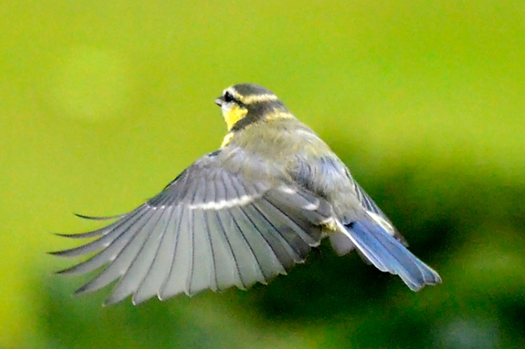 flying blue tit