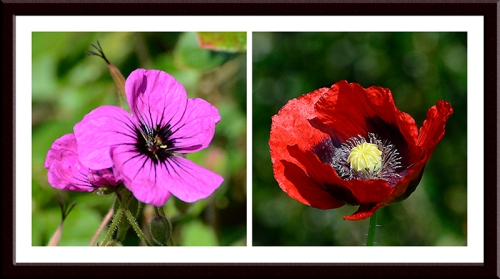 Geranium and poppy