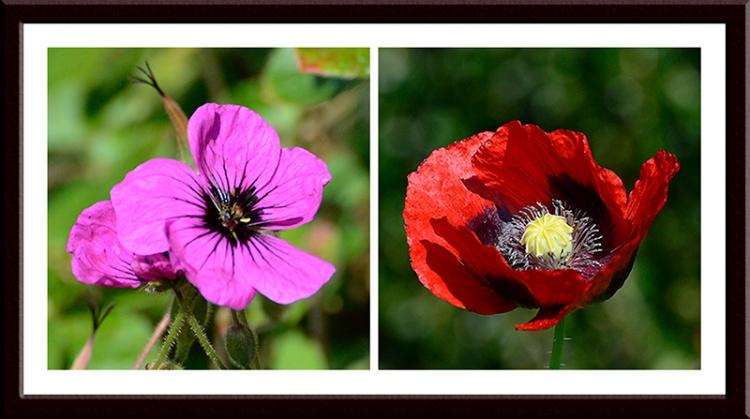 Geranium and poppy