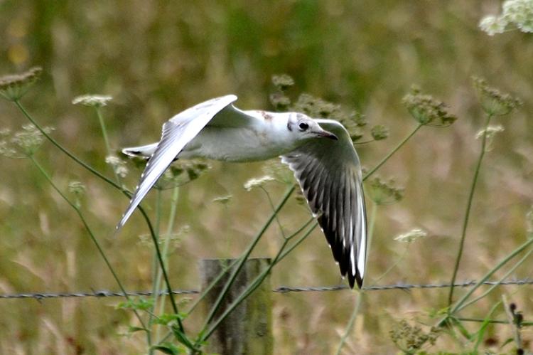 low flying gull